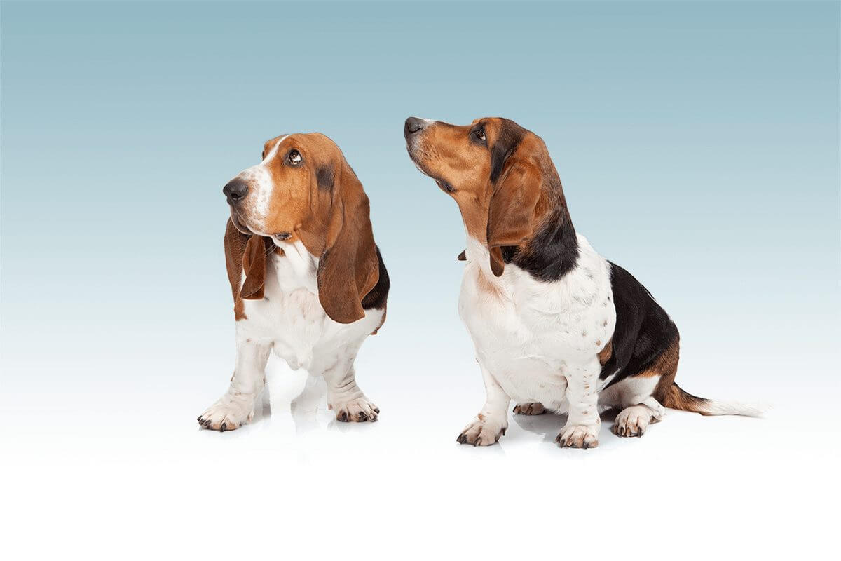 bassethound_fotostudio