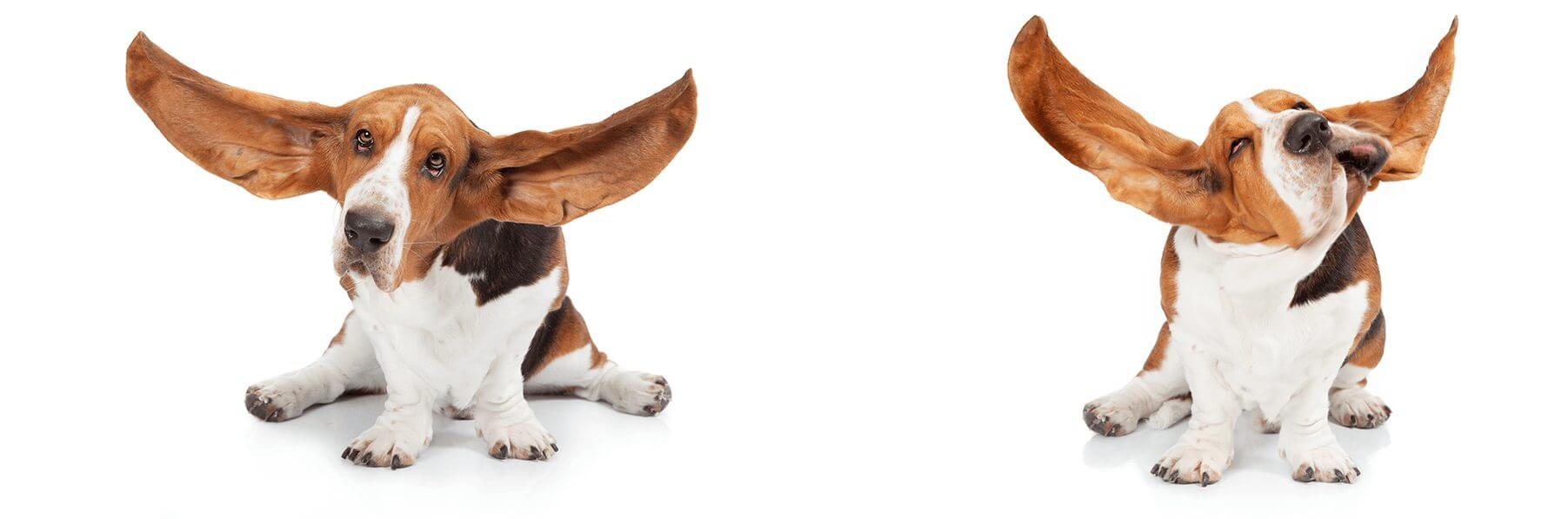 bassethound_fotostudio3
