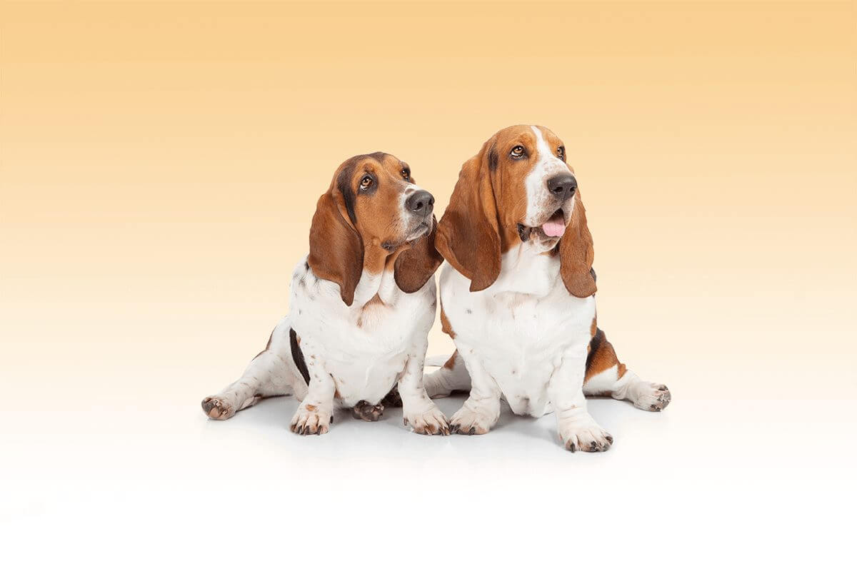 bassethound_fotostudio6